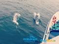 Dublin-Bay-Cruises-Dolphins