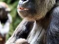 DublinZoo_Gorilla02-1